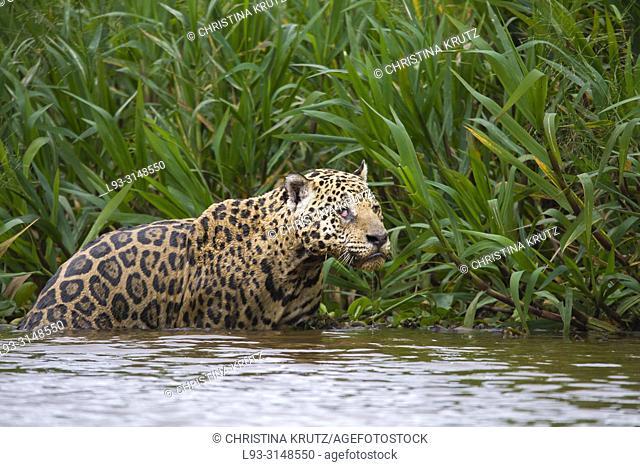 Adult Jaguar (Panthera onca) in water, Pantanal, Mato Grosso, Brazil
