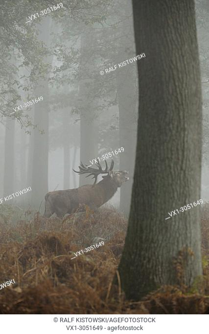 Red Deer (Cervus elaphus ), powerful stag stands between autumnal coloured fern, roaring in hazy woods
