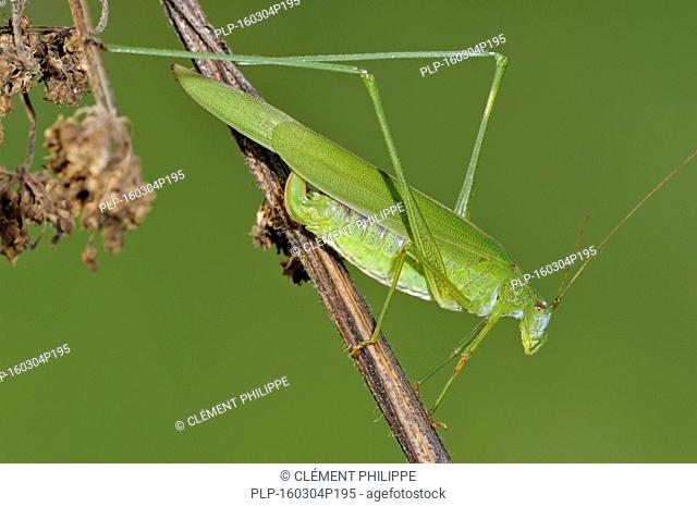 Sickle-bearing bush-cricket (Phaneroptera falcata) female on stem in grassland