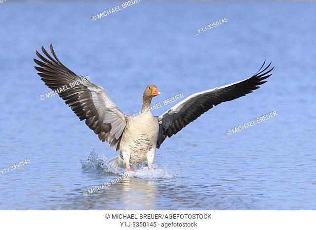 Greylag goose, Anser anser, Hesse, Germany, Europe