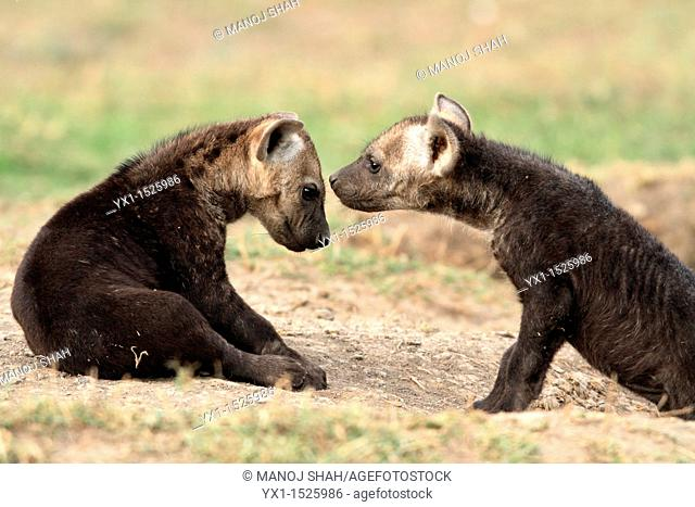 Hyaena cubs, savannah, Masai Mara Natonal Reserve, Kenya