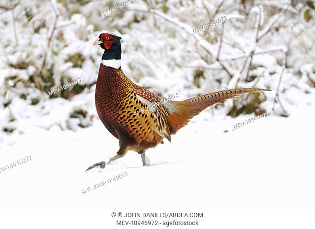 BIRD - Pheasant in snow - Male