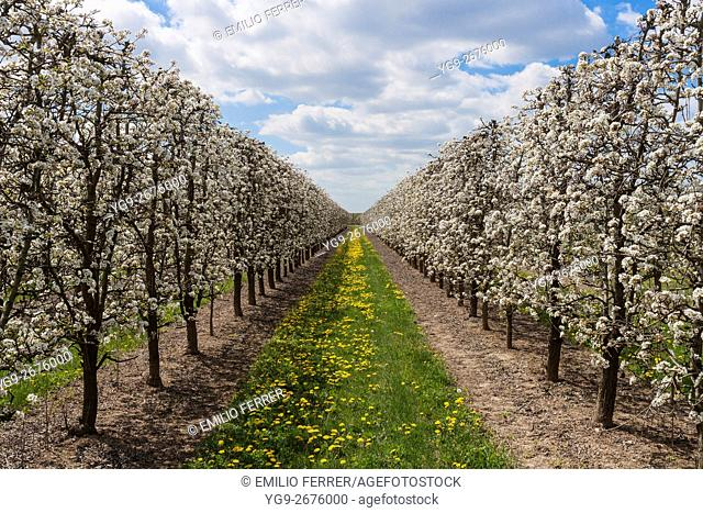 Field with pear tres in flower