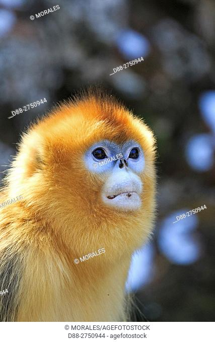 Asia, China, Shaanxi province, Qinling Mountains, Golden Snub-nosed Monkey (Rhinopithecus roxellana)