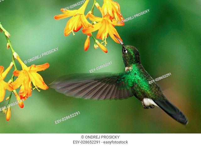 Green humingbird Tourmaline Sunangel, Heliangelus exortis