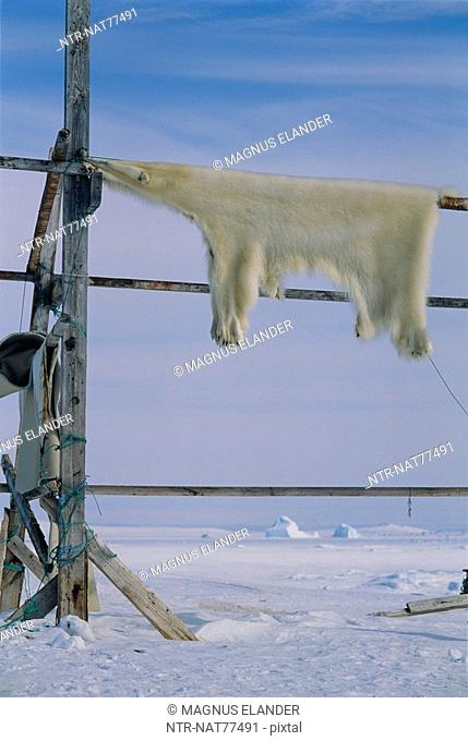 The skin of a polar bear drying, Greenland