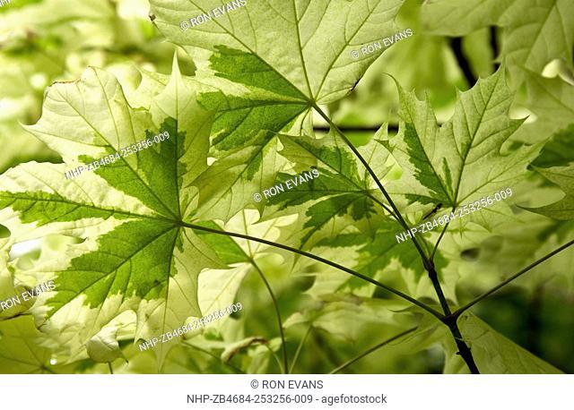 Plant portrait close up study of leaves of deciduous tree Acer Platanoides Drummondii, Norwegian Maple