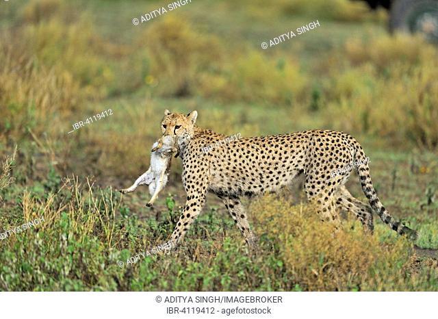 Cheetah (Acinonyx jubatus) carrying a dead hare in the grasslands of Ndutu, Ngorongoro Conservation Area, Tanzania