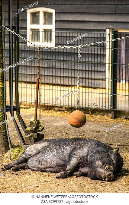 Pig sleeping at a farm in the Netherlands, Europe