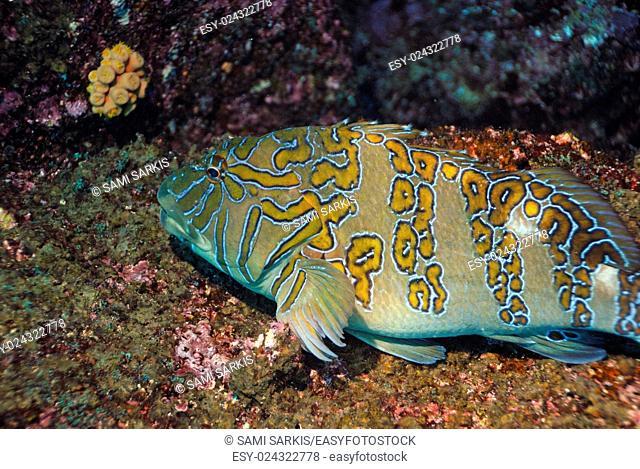 Giant Hawkfish (Cirrhitus rivulatus) on the seabed, Wolf Island, Galapagos Islands, Ecuador, South America