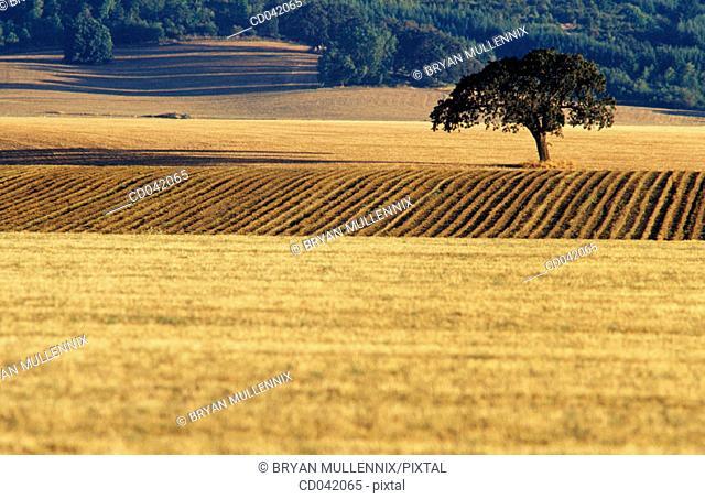 Farmland and oak tree