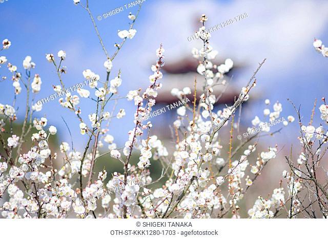 Plum blossom with Tobaikaku pavillion, World plum park, Tatsuno, Hyogo Prefecture, Japan