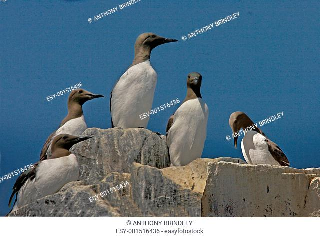 Guillemots gather together