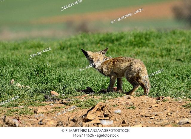 Red fox (Vulpes vulpes) suffering from scabies on a dunghill in Campo de San Pedro, Segovia province, Castilla-Leon. Spain