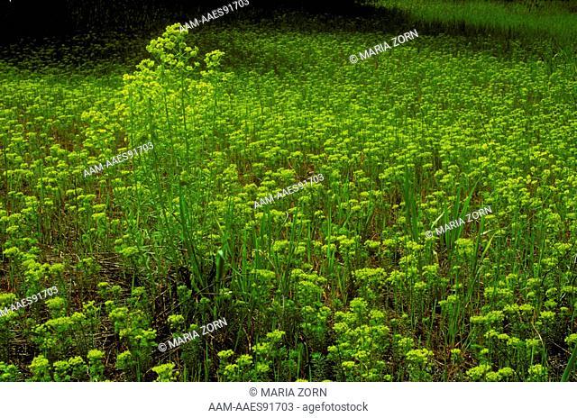Spurge (Euphorbia esula)AKA Leafy spurge, invasive species, Ontario, Canada