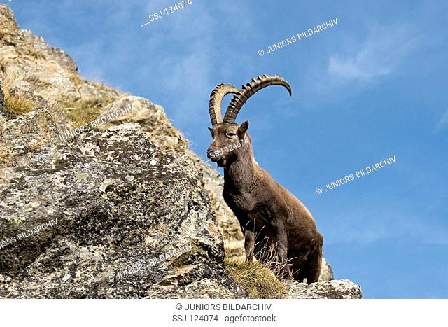 alpine ibex - standing on rock / Capra ibex