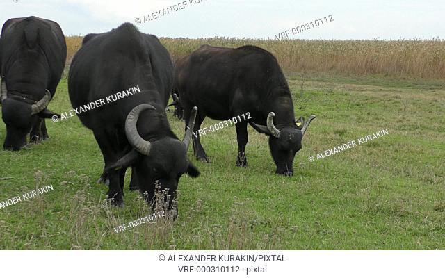 African buffalo or Cape buffalo (Syncerus caffer): rehabilitation in Ukraine
