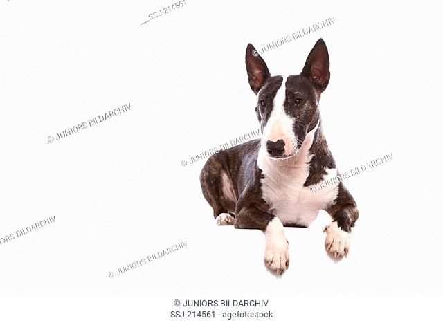 Miniature Bull Terrier. Adult bitch lying. Studio picture against a white background. Germany