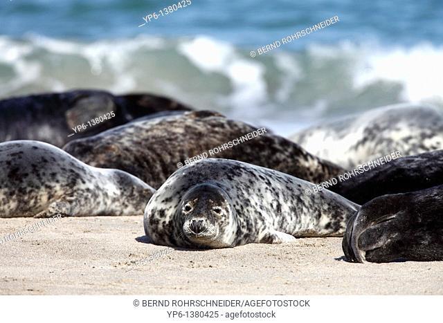 Grey Seals, Halichoerus grypus, group lying on beach, Heligoland, Germany