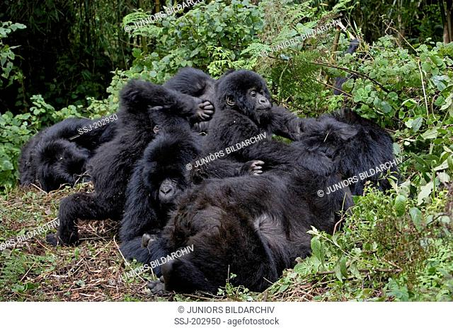 Mountain Gorilla (Gorilla beringei beringei). Two playing infants attacking resting adults. Volcanoes National Park, Rwanda