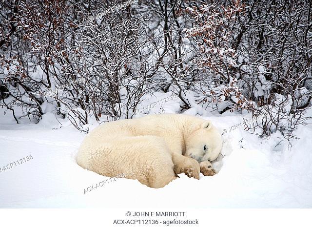 Polar bear, Churchill, Manitoba