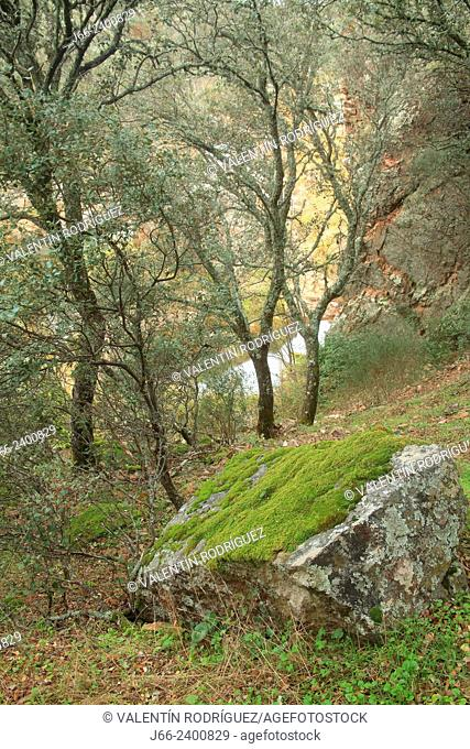 oak forest (Quercus ilex and Quercus faginea) on the banks of the river Estena in Boquerón del Estena route, national park Cabañeros. Ciudad Real
