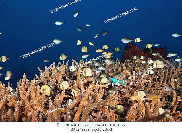 Various Coralfishes over Branching Corals, Tanimbar Islands, Moluccas, Indonesia