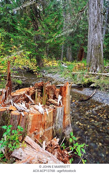 An old growth interior red cedar stump, recently chopped down near a small stream in the Kootenays, British Columbia, Canada