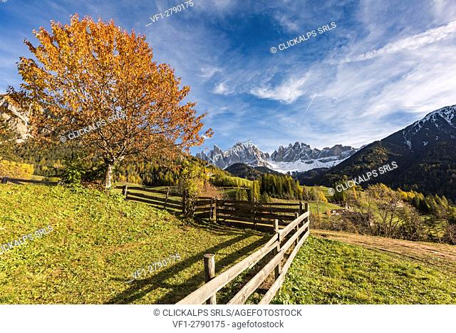 Autumnal cherry tree and Odle Dolomites peaks on the background. Santa Maddalena, Funes, Bolzano, Trentino Alto Adige - Sudtirol, Italy, Europe