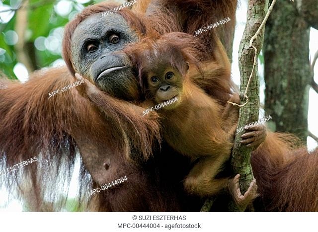 Sumatran Orangutan (Pongo abelii) mother and playful two month old baby, Gunung Leuser National Park, north Sumatra, Indonesia