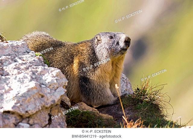 alpine marmot (Marmota marmota), at the Grossglockner, Austria, Hohe Tauern National Park