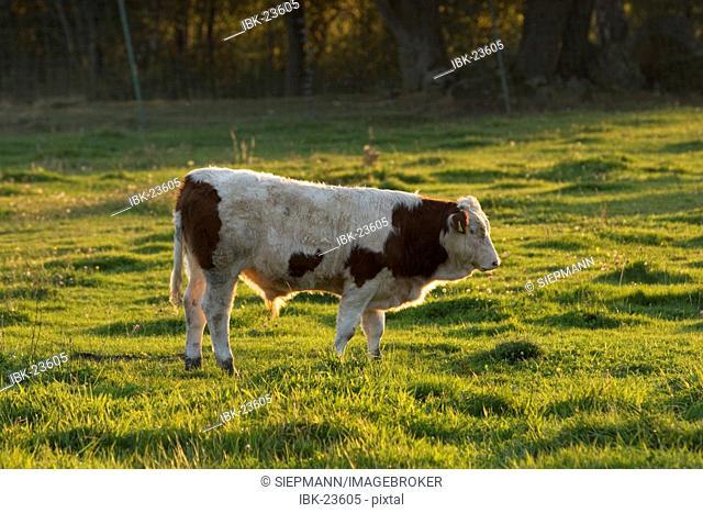 Bull Bavaria Germany
