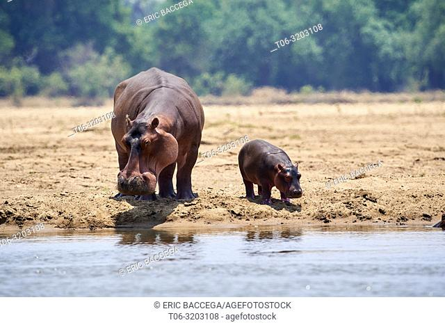 Hippo female and very young calf (Hippopotamus amphibius) on the bank of the Luangwa river, South Luangwa National Park, Zambia