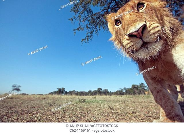 Lion (Panthera leo) adolescent male approaching with curiosity -wide angle perspective-, Maasai Mara National Reserve, Kenya