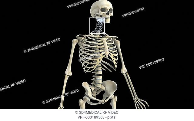 An anti-clockwise rotation of the skeletal system with the cervical region of the spinal column highlighted which then fades to a detail of the cervical...