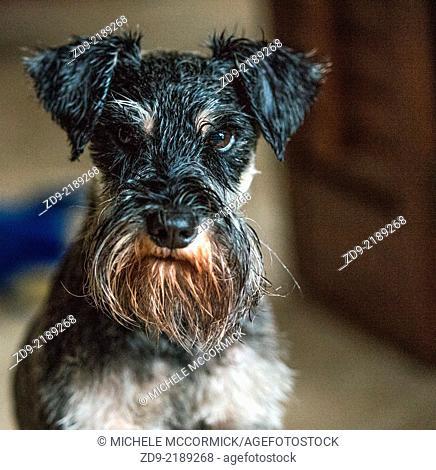 Portrait of a wet miniature