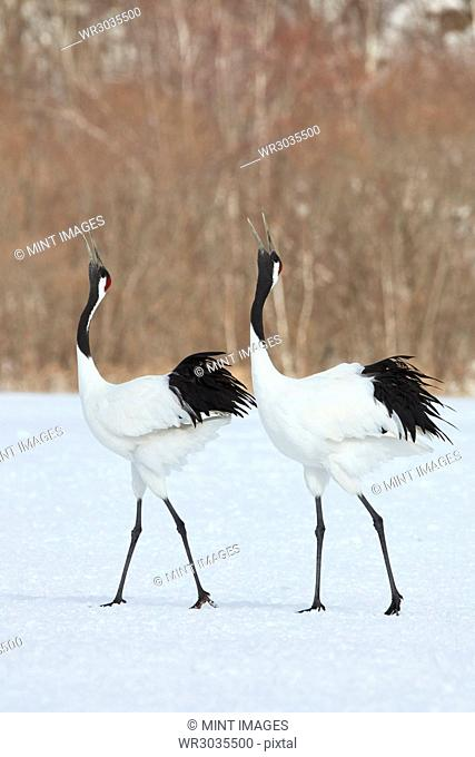 Red-Crowned Cranes, Grus japonensis, standing in the snow in winter