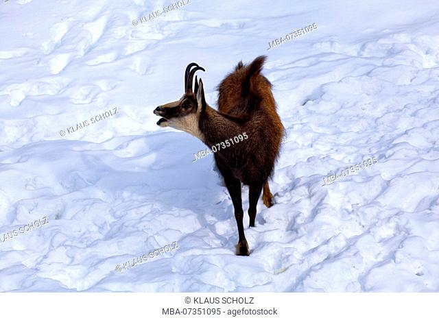 Chamois with opened mouth