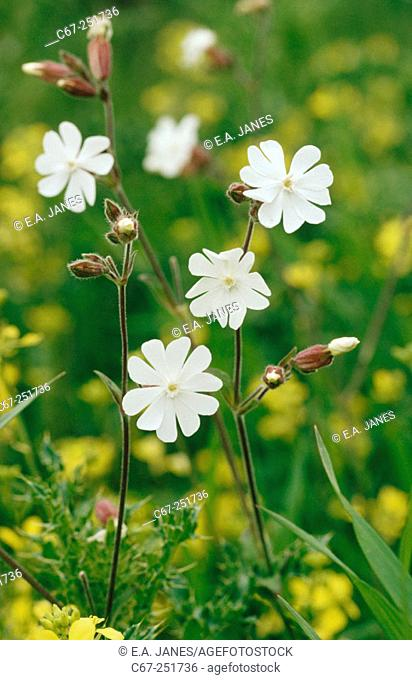 White Campion (Melandrium album) or (Silene latifolia)