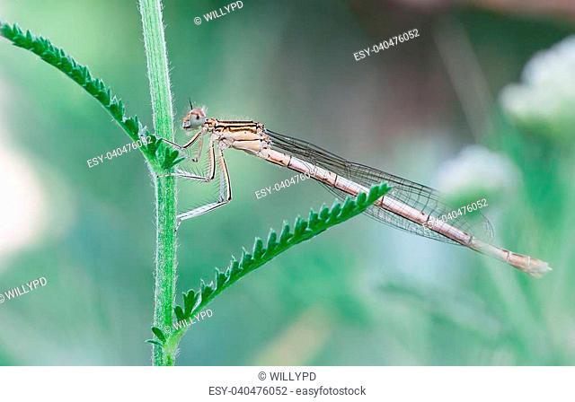 photographyt macro of female damselfly (Platycnemis pennipes)