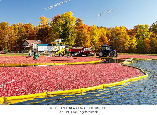 Cranberry harvesting operations at the Vilas Cranberry Co., marsh at Manitowish Waters, Wisconsin, USA