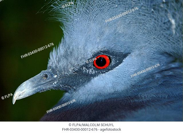 Victoria Crowned-pigeon Goura victoria adult, close-up of head, captive