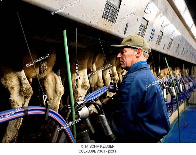 Farmer operating modern milking machine in early morning, Wyns, Friesland, Netherlands