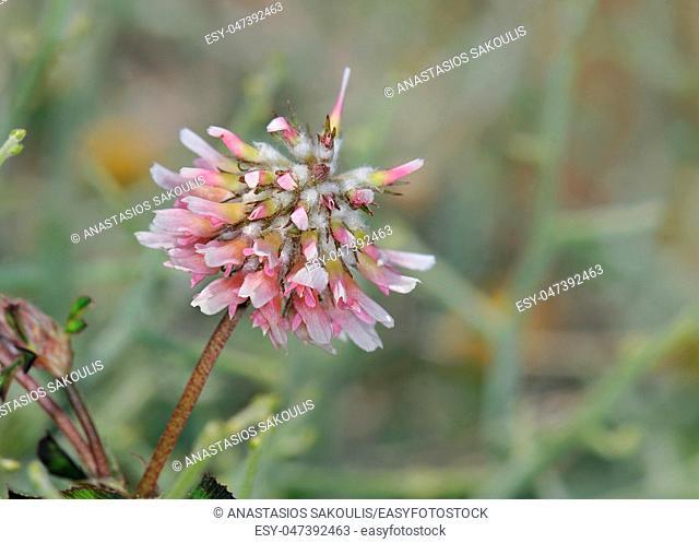 Trifolium resupinatum (reversed clover, Persian clover, shaftal), Crete