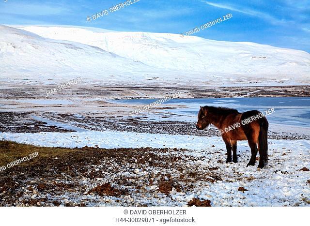 Mountains, Europe, Island, Iceland horses, sceneries, sea, horses, snow, mammals, animals, volcano island, water, winter