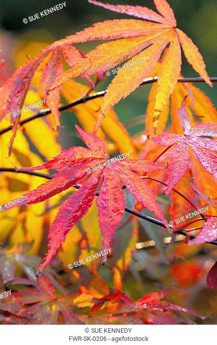 Acer palmatum 'Beni-kagami', Japanese maple