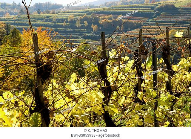 Wachau, autumn in vine yards, Austria, Lower Austria, Wachau, Weissenkirchen