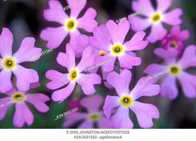 Birdseye primrose (Primula mistassinica), South Bay, Manitoulin Island, Ontario, Canada