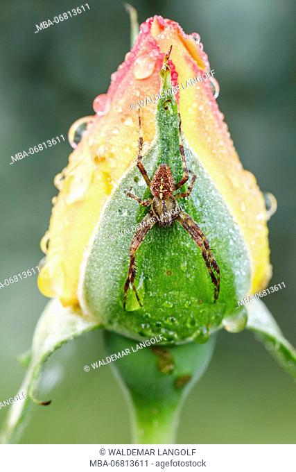 Morning hours in the garden, cross spider at rose bud