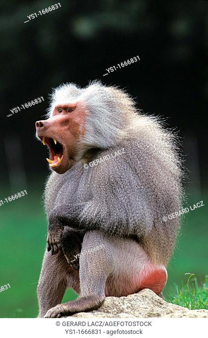 Hamadryas Baboon, papio hamadryas, Male Yawning